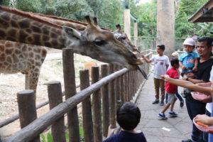 Giraffes at Chiang Mai Zoo