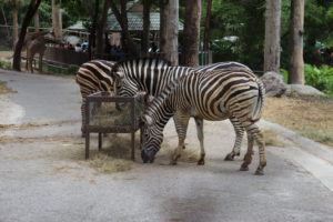 Zebras at Chiang Mai Zoo